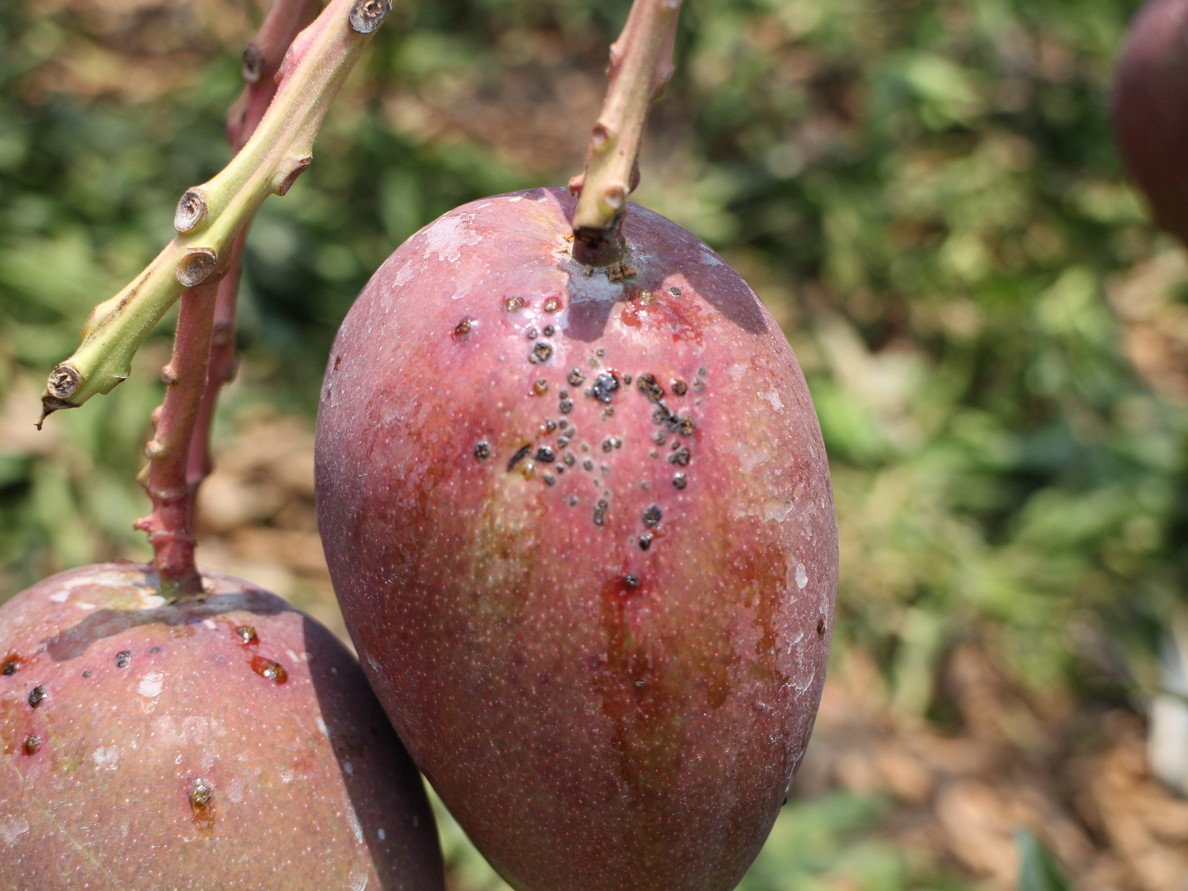 芒果黑斑病於果實上呈黑色點狀突起,嚴重時破裂流膠。