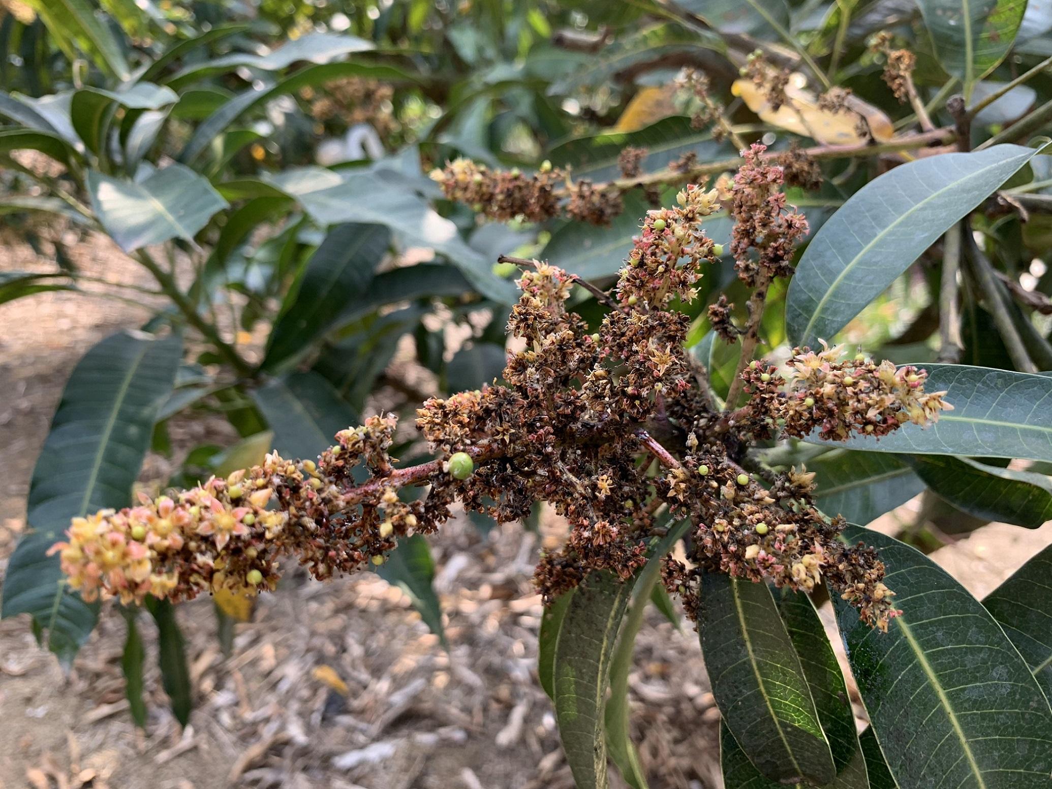葉蟬危害芒果花穗,嚴重時引起黴煙病。