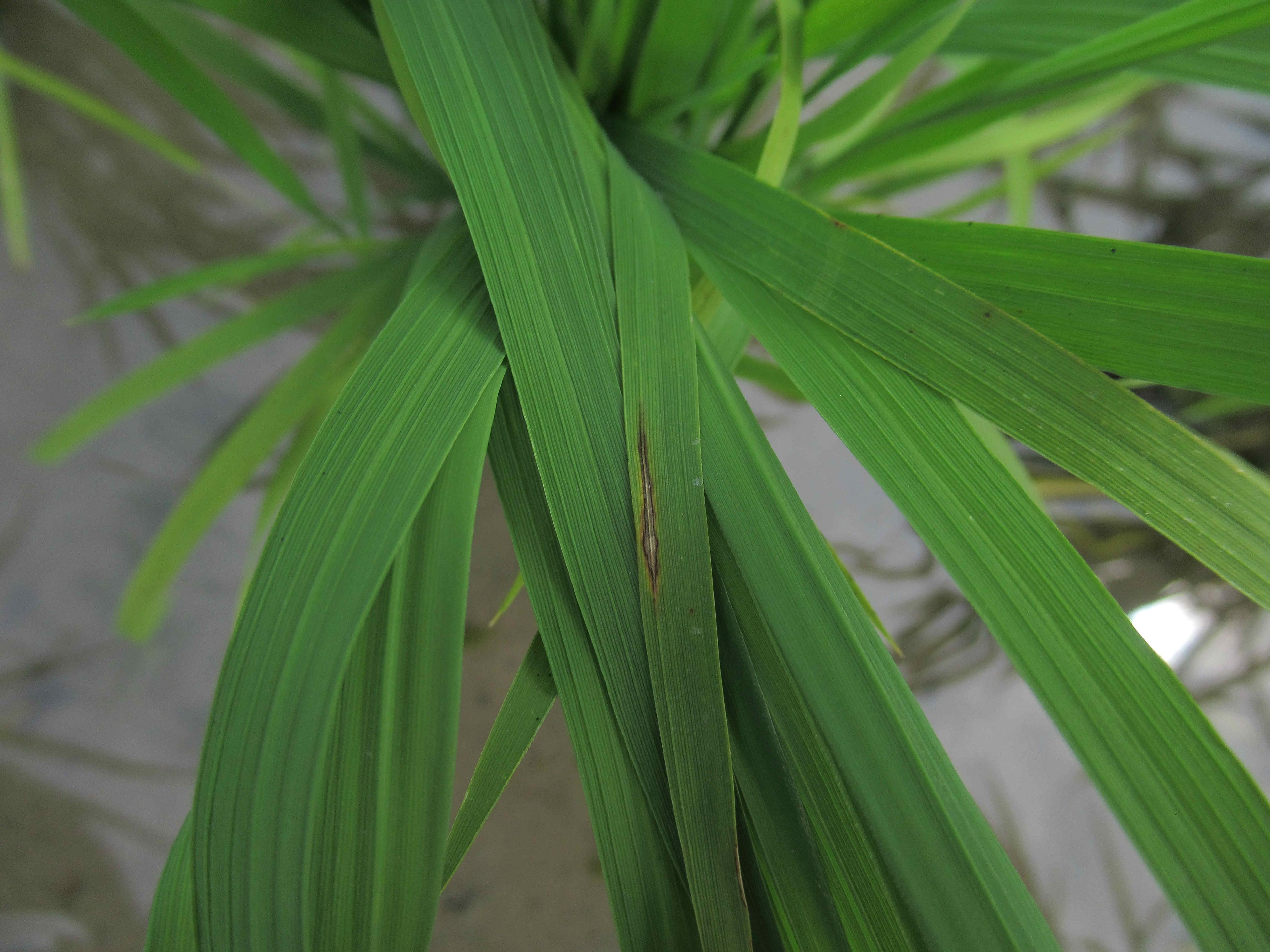水稻葉稻熱病典型紡錘形病斑