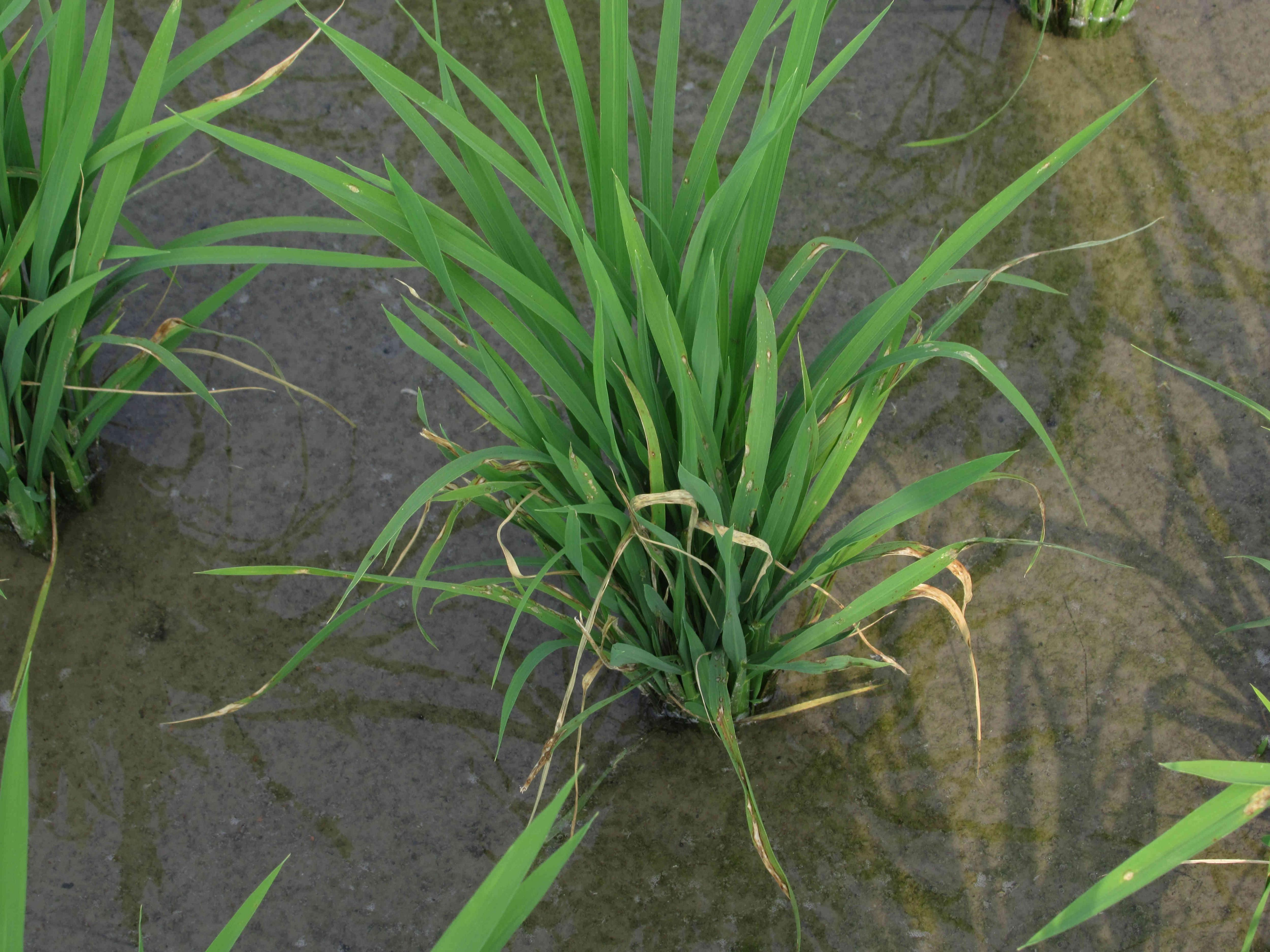高屏地區之水稻已陸續進入分蘗盛期,稻熱病已開始零星發生