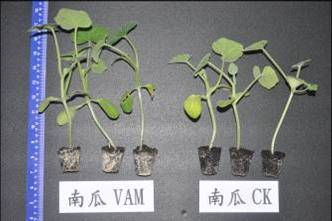 Enhancement of pumpkin root growth by the inoculation of AMF (5 weeks)(left: treatment of AMF, right: control)