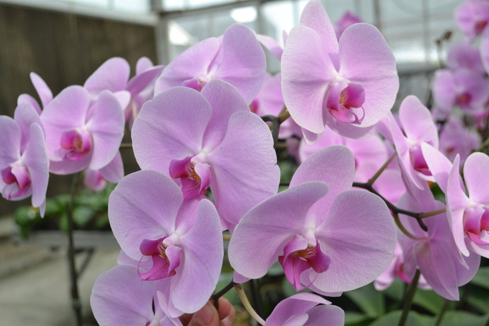 High quality orchids by using the rice straw based growing medium