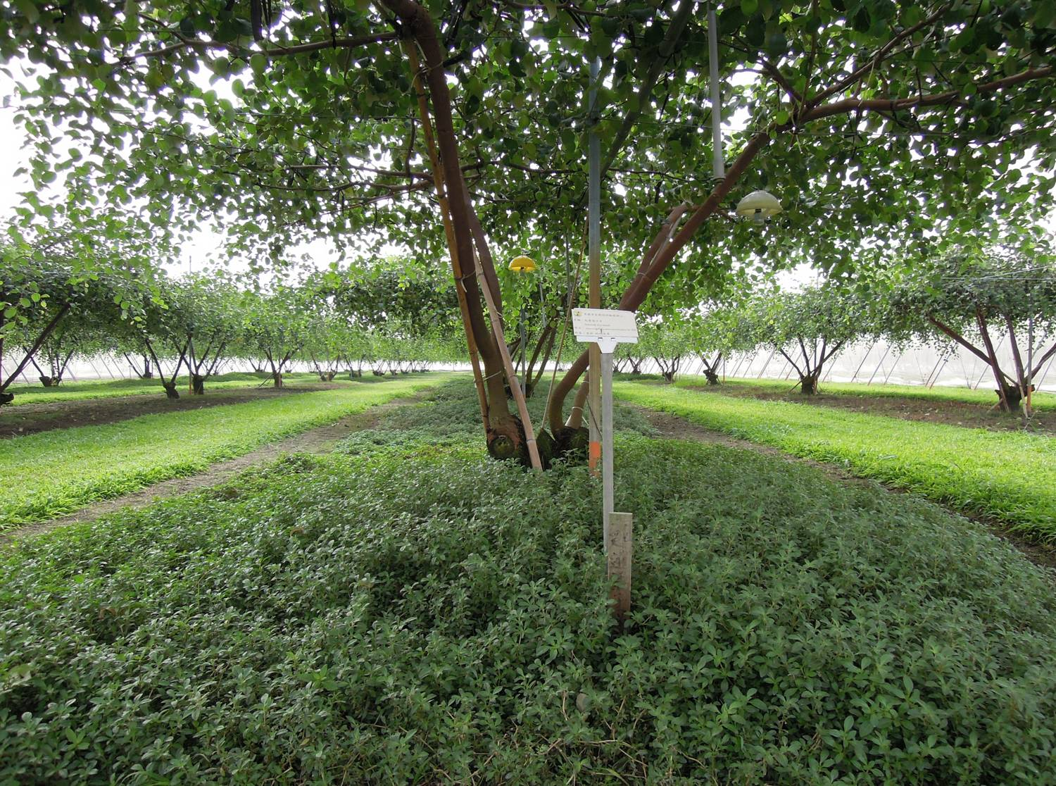 Single grass cultivation in jujube orchards